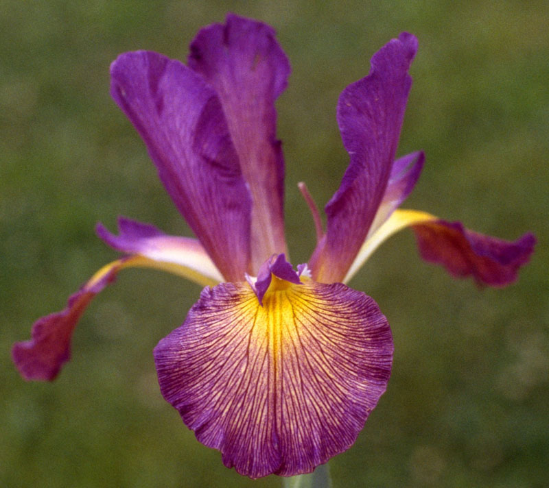 Twenty First Century spuria iris from Hedgecock