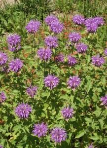 Wild Bergamot from National Garden Bureau