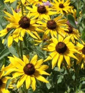 Wildflower Black-Eyed-Susan from National Garden Bureau