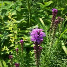 blazing star liatris from Missouri Botanical Garden