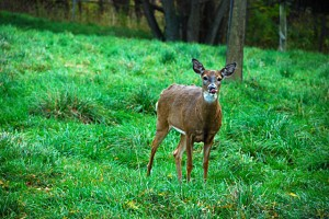 deer in Western New York from Donna Brok
