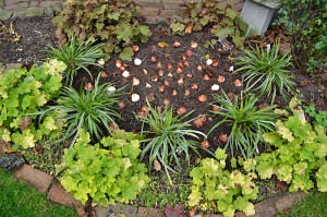 garden bed with tulip bulbs in autumn in Buffalo NY
