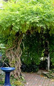 trumpet vine in autumn garden in Buffalo NY