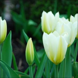 whitetulips from Donna Brok Niagara Falls NY