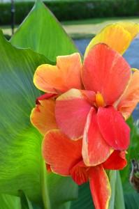 canna lily in Buffalo NY
