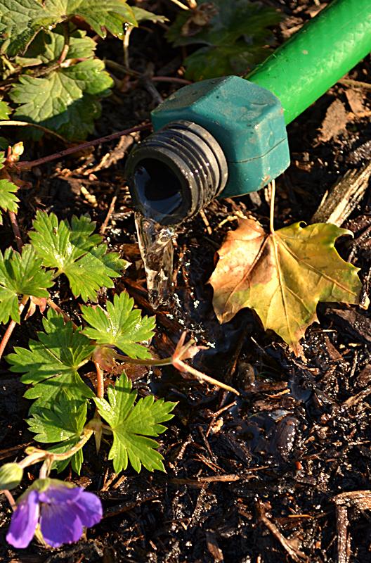 watering garden in late autumn in Buffalo NY