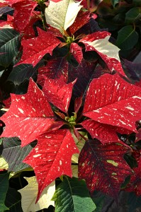 white glitter poinsettia in Amherst NY