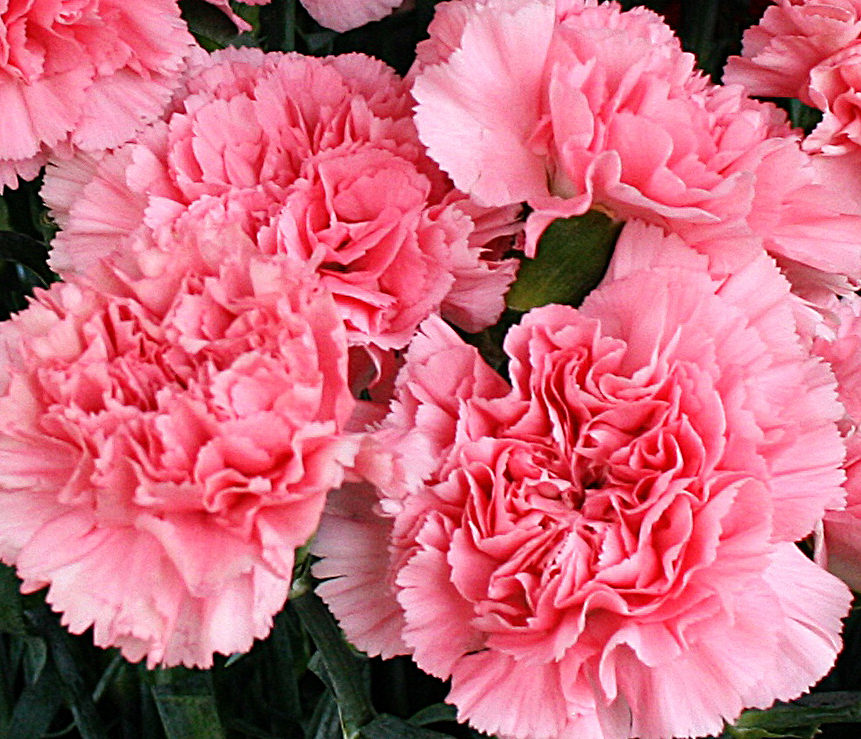 pink carnations from Mischlers in Amherst NY