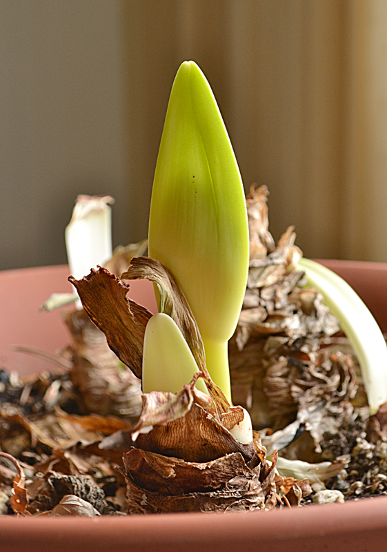 amaryllis sprouting Amherst NY January 2013