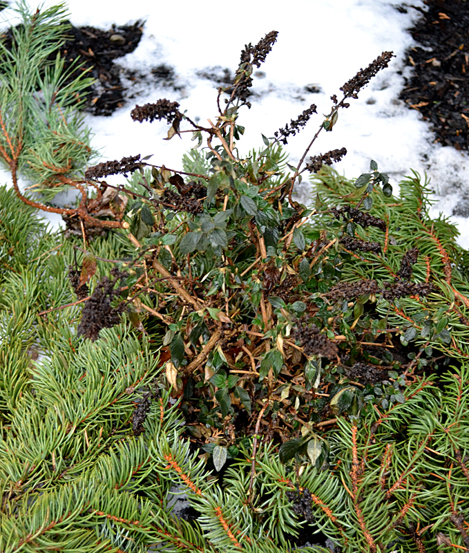 insulate plants with evergreen branches in Buffalo NY