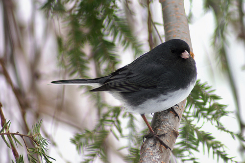 Junco by Terry LeBaron from Audubon in Jamestown