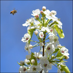 bee at pear blossom by Donna Brok