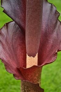 closeup of voodoo lily in Hamburg NY