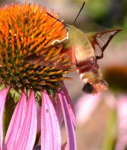hummingbird moth in Clarence NY