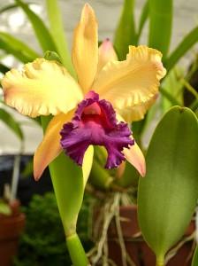 orchid at Buffalo Botanical Gardens 2012