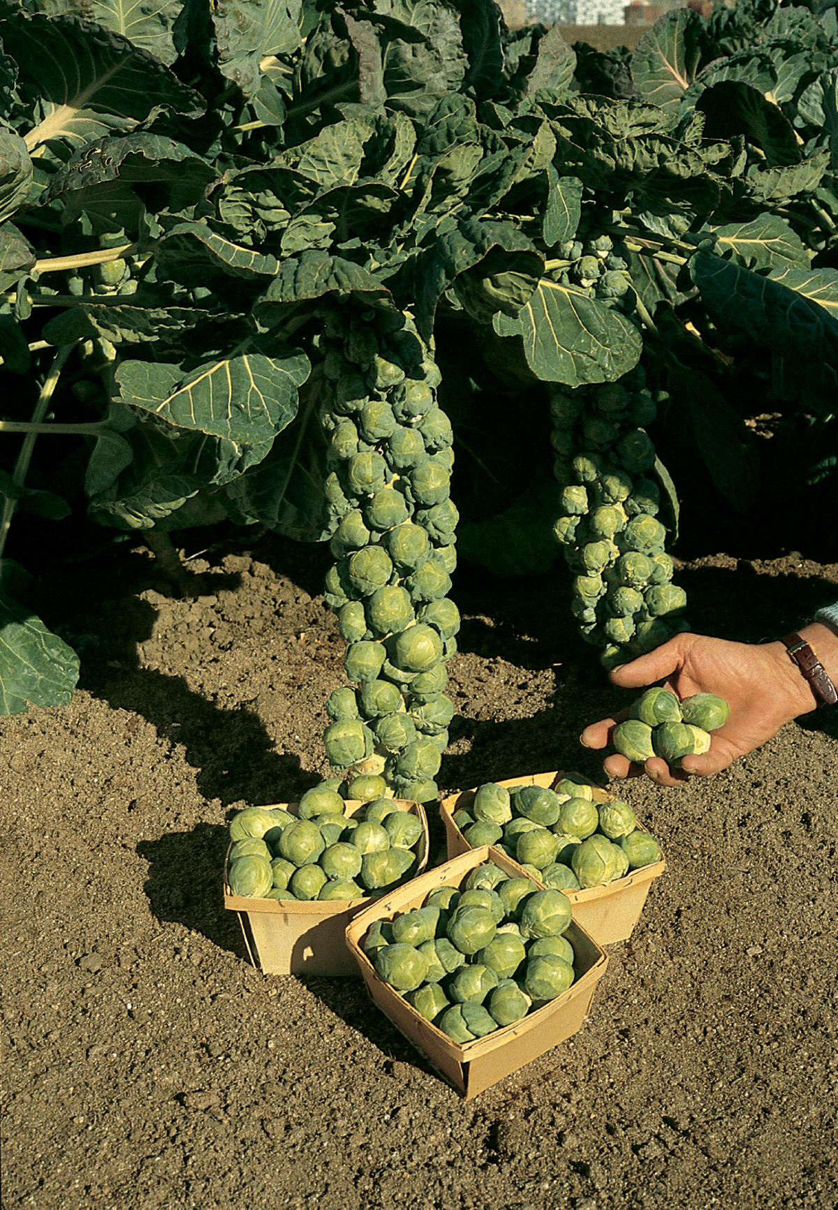 It 39 s almost time to plant cool weather veggies in buffalo for Home garden images