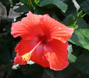 Tropical hibiscus. Photo from Mischler's Florist and Greenhouses.
