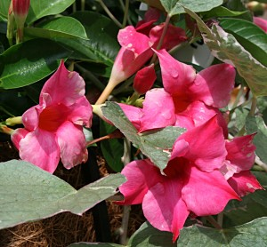 Mandevilla photo from Mischler's