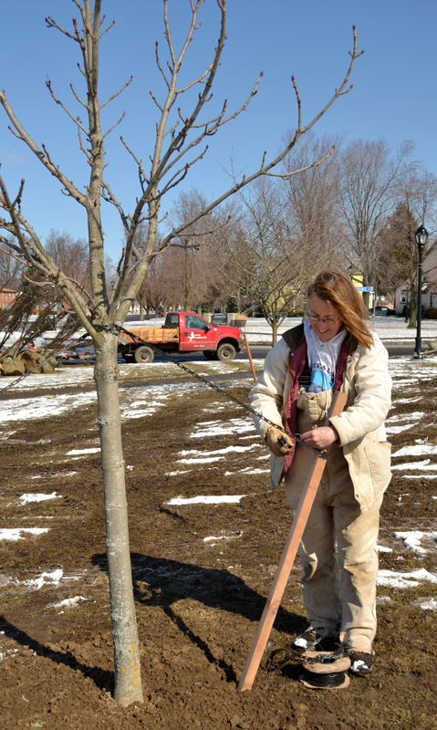 anchoring tree after planting in Buffalo NY LEAF a Legacy