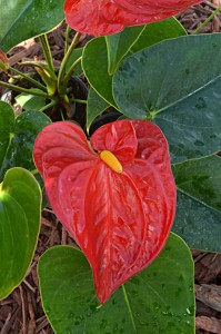 anthurium available at Mischler's