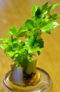 celery grown from stump in Amherst NY