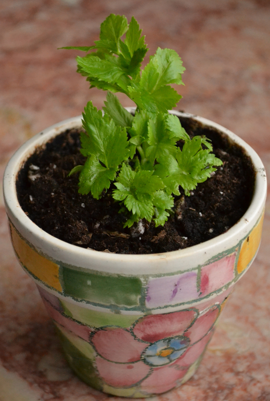 celery plant in pot in Amherst NY
