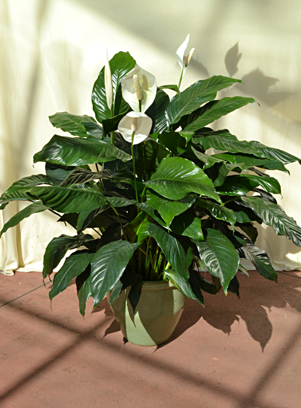 peace lilies available at Mischler's