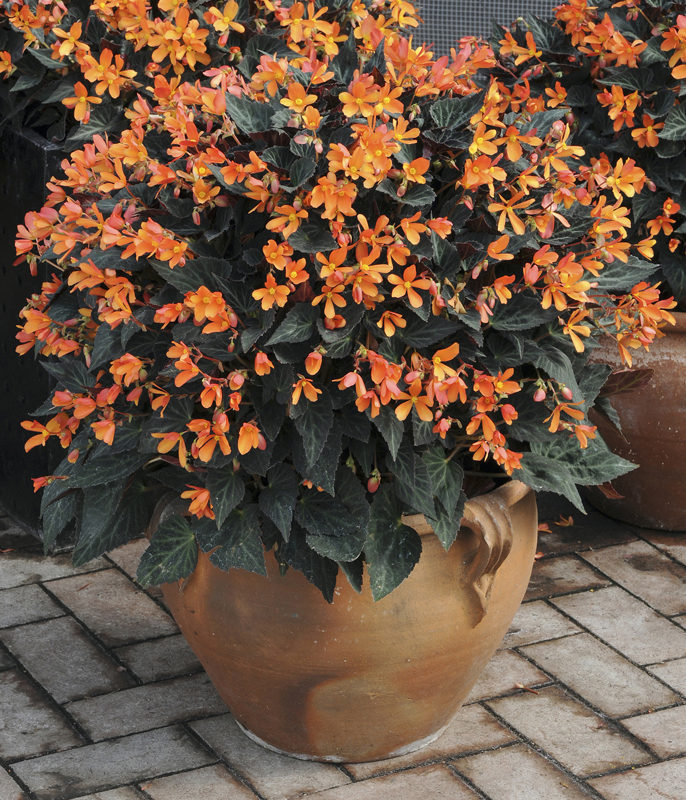 Begonia-Sparks Will Fly from Burpee Home Gardens