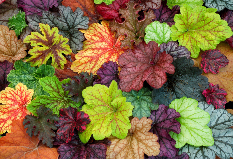 Heuchera from National Garden Bureau