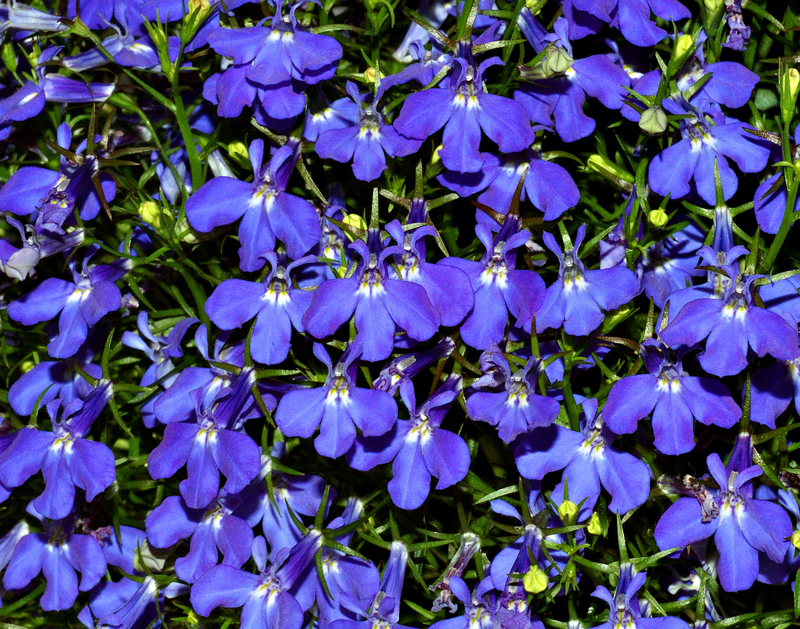 Lobelia by Photo by André Karwath via Wikimedia Commons