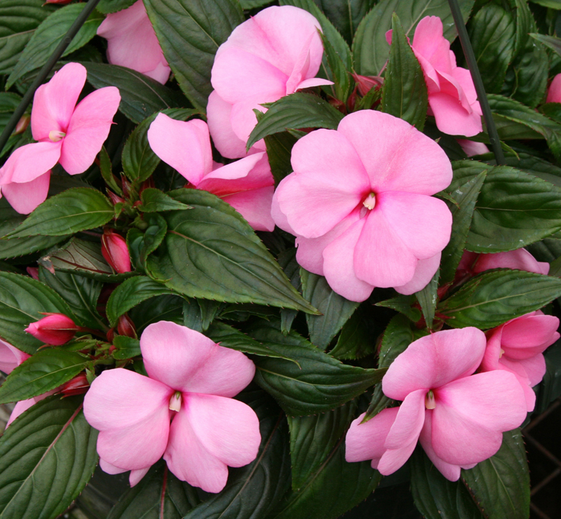 New Guinea impatiens, seen here, can be a good alternative to the impatiens that you may be more familiar with. The common impatiens, called is being obliterated by downy mildew.