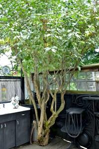 deck built around lilac bush in Buffalo NY