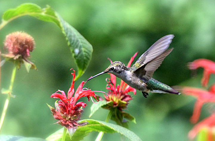 rubythroated hummingbird from Donna Brok in Niagara Falls NY