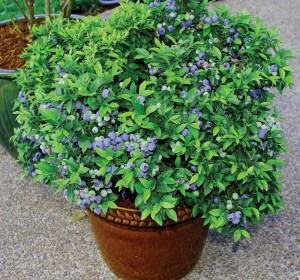 BlueberryTopHat Courtesy of W. Atlee Burpee & Co.