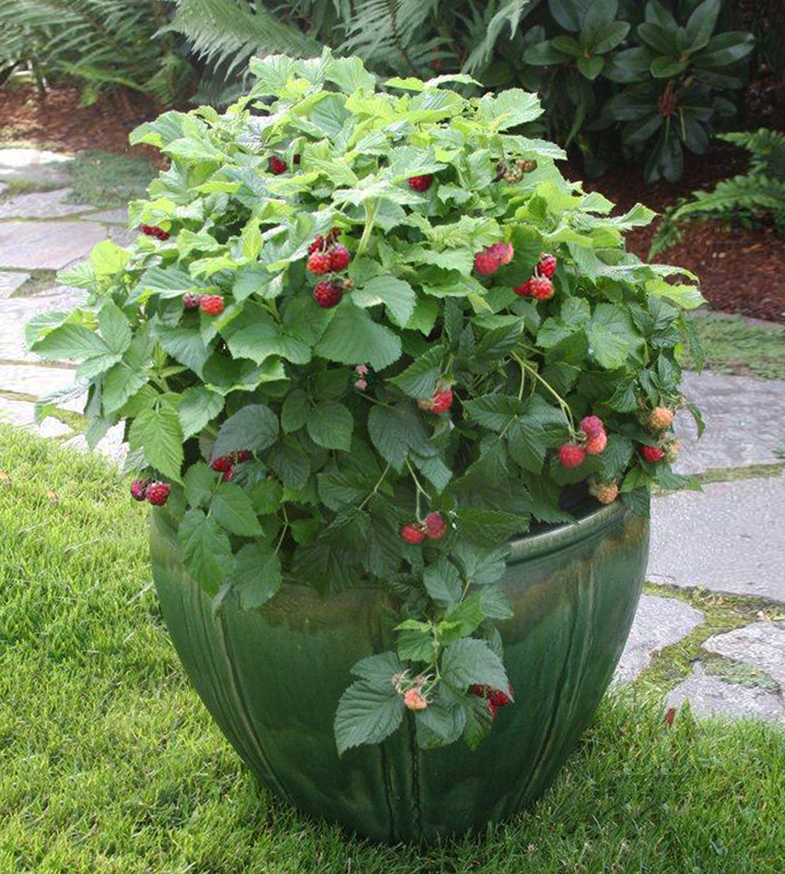 Best Fruits To Grow In Pots: Grow Attractive Fruit Bushes & Even Trees– In Containers