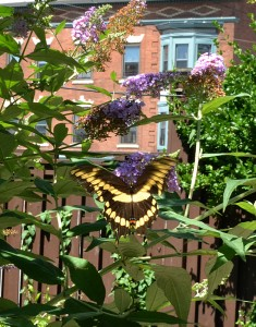 butterfly on butterfly bush on West Side of Buffalo NY