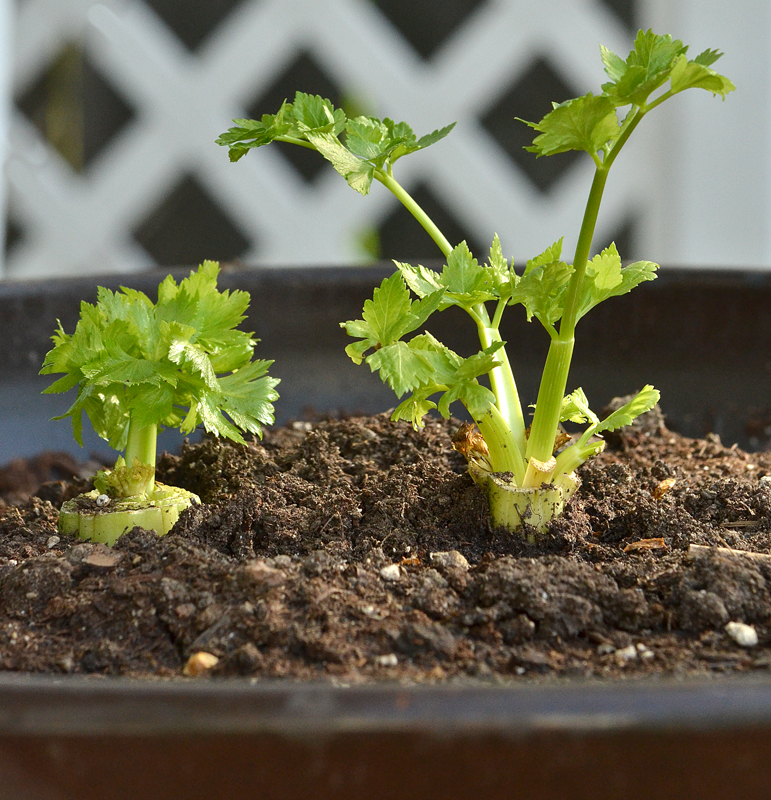 celery planted outside in container in Amherst NY