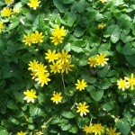lesser celandine in Buffalo NY by Mike Fabrizio