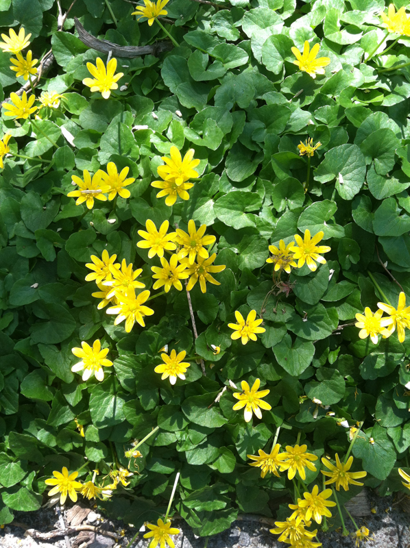 Get rid of lesser celandine its pretty but it will take over your lesser celandine in buffalo ny by mike fabrizio mightylinksfo