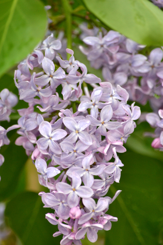 lilac in Amherst NY
