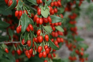 lycium_sweet_lifeberry_goji_berry from Proven Winners