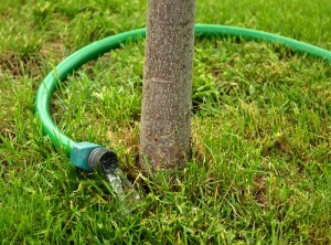 watering tree in Amherst NY