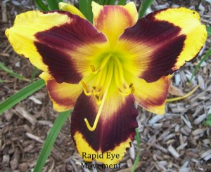 rapid eye movement daylily in Orchard Park NY