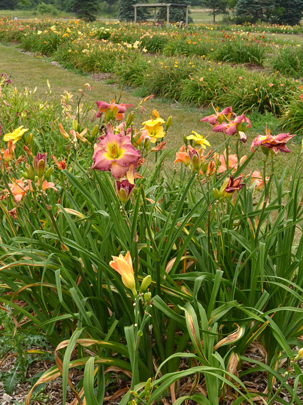 daylilies in garden bed in Orchard Park NY
