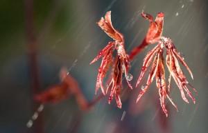 maple leaves in rain