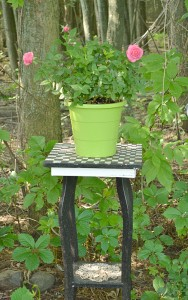 rose in pot set in shade in Lancaster NY