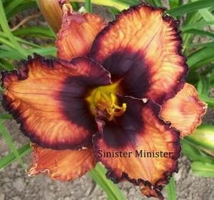 Sinister Minister daylily in Orchard Park NY