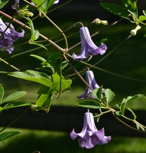 Betty Corning clematis in West Seneca NY