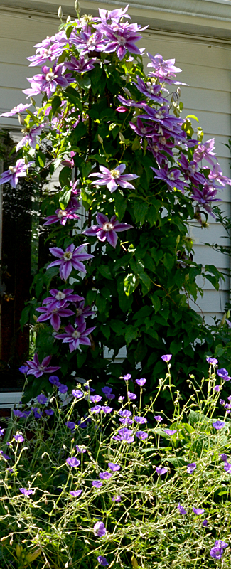 Killian Donahue clematis in
