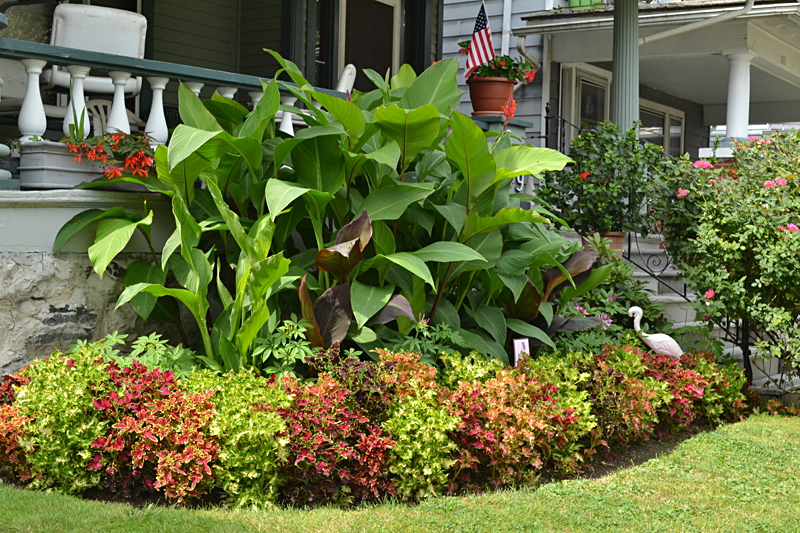coleus replaces impatiens in front yard on Garden Walk Buffalo 2013